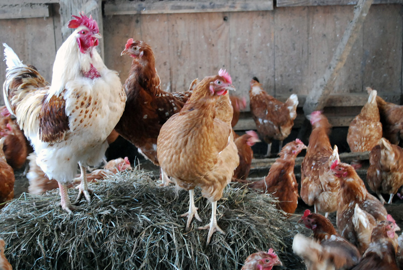 元気な鶏たち