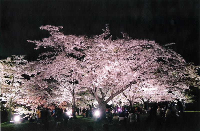 2001年手宮公園夜桜ライトアップ(安田 憲司 氏撮影)
